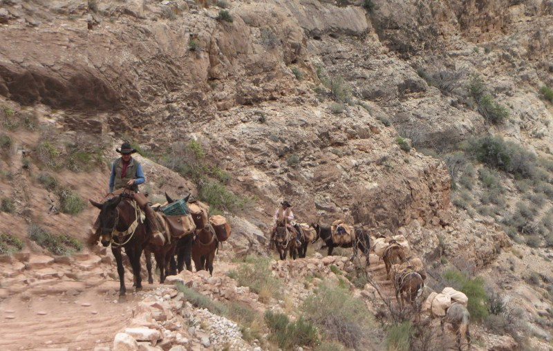 Cargo mules do Herculean work on the trail