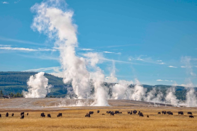 Bison and steam from geysers at Lower Geyser Basin, Yellowstone National Park, Wyoming.