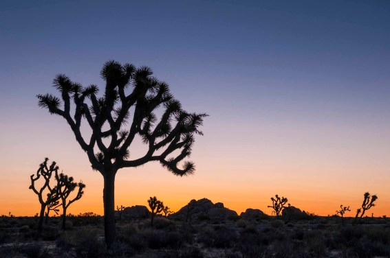 Joshua Trees at sunrise, Lost Horse Valley, with Jumbo Rocks in the background; Joshua Tree National Park, California.