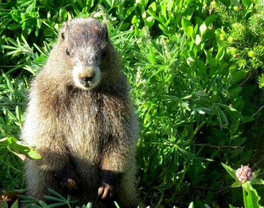 Mt. Ranier critter