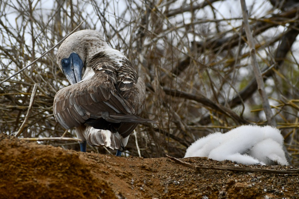 Blue Footed Boobie protecting her fluffy offspring