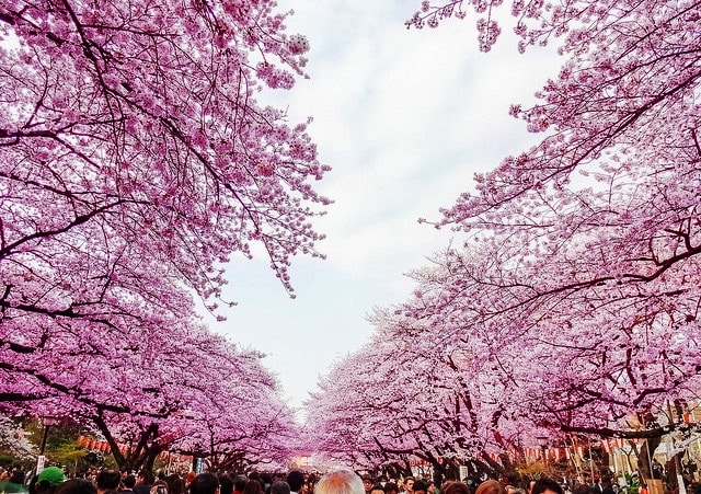 Hanami in Ueno Park by Dick Thomas Johnson