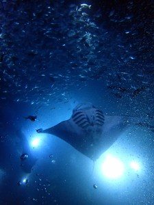 Night Snorkel with Manta Rays