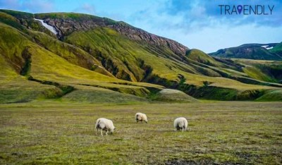 Icelandic sheep grazing in the countryside