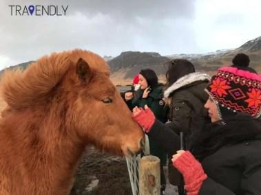 Icelandic horse petting break