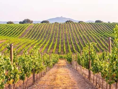 Alentejo vineyard plants Portugal
