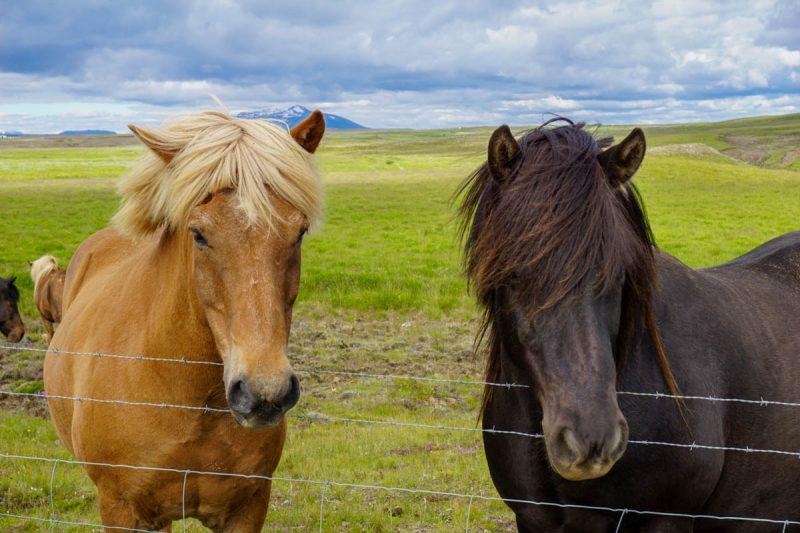 Gorgeous Icelandic horses posing