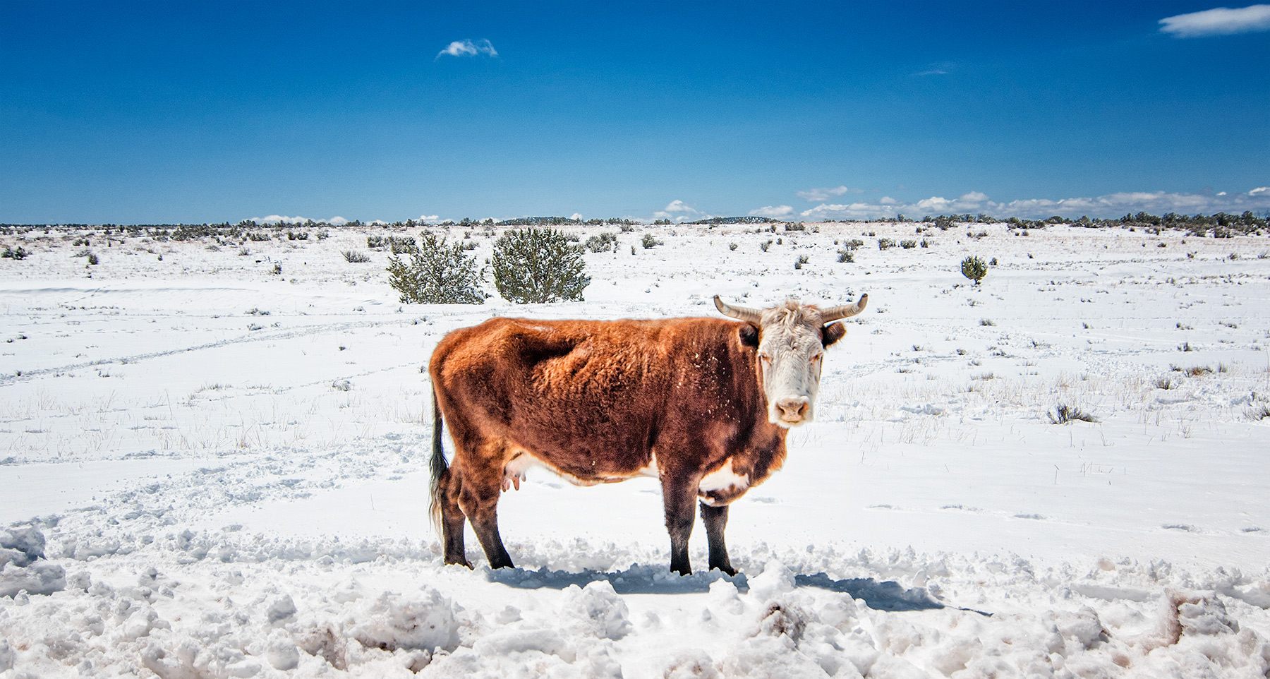 Cow Winter arizona snow driving remote
