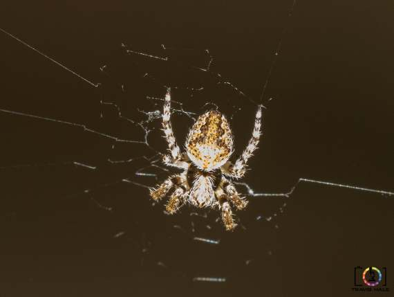 Spiders found in the backyard, taken with a Nikon D5300 adn Sigma 150mm Macro (with ringflash).