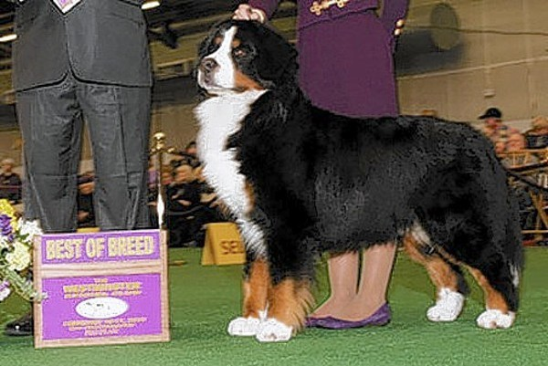 Bel Air dog takes home best in breed at Westminster