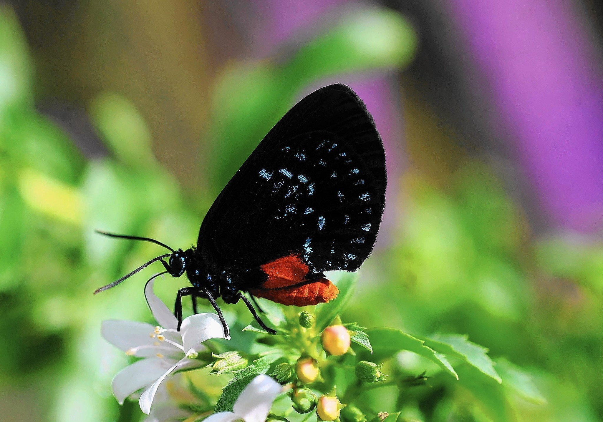 Butterfly Counts Show Atala Zebra And White Peacock