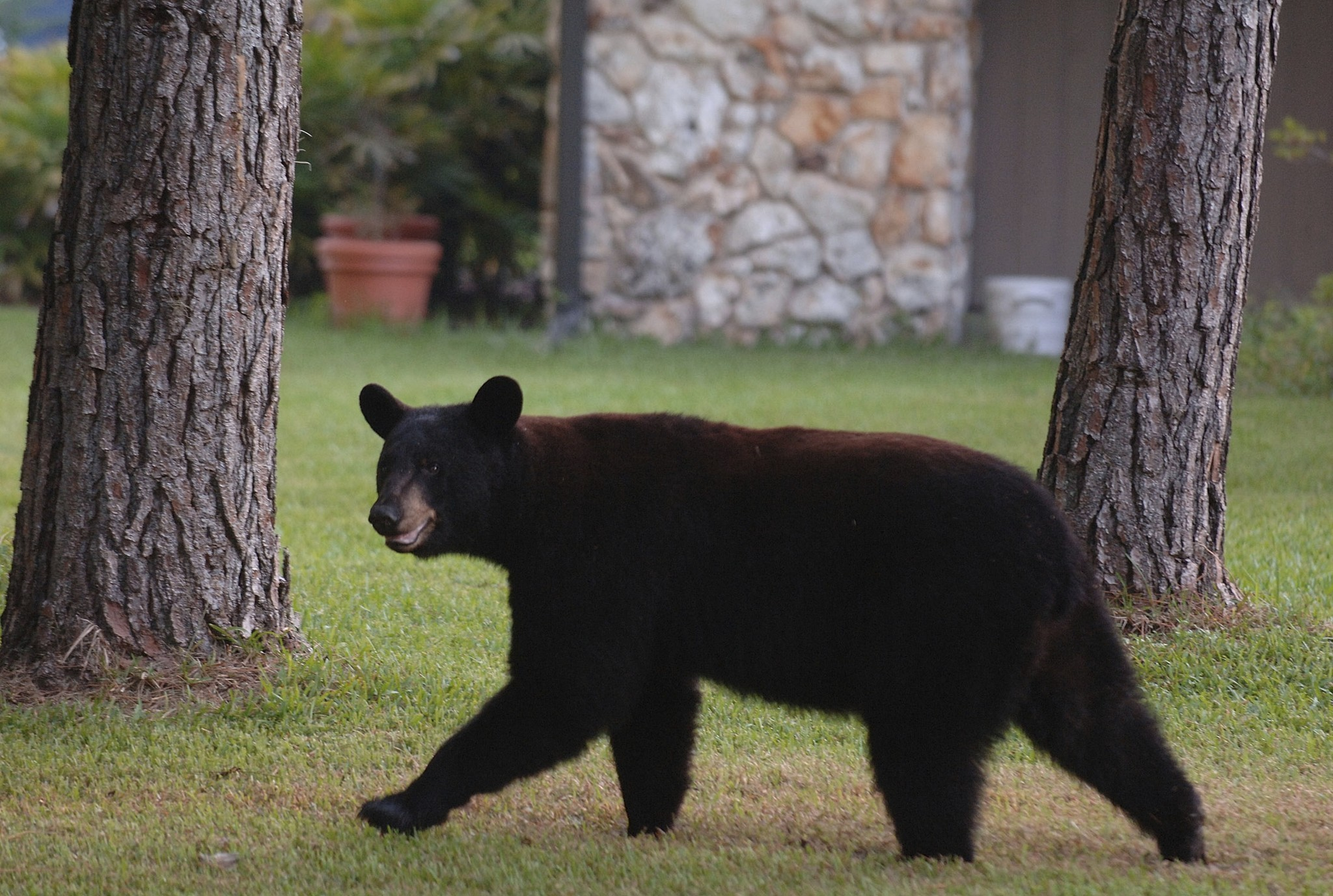 Pictures Orlandoarea bear sightings  Orlando Sentinel