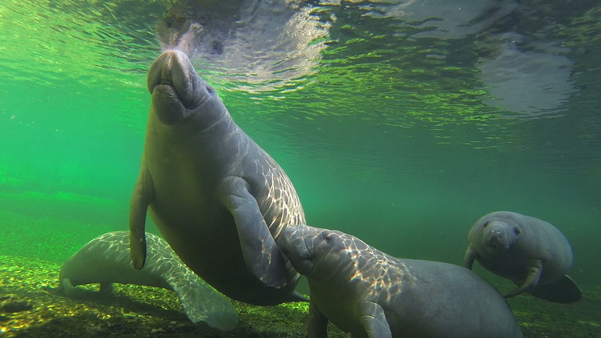 Need A Unique Valentines Day Idea Adopt A Manatee