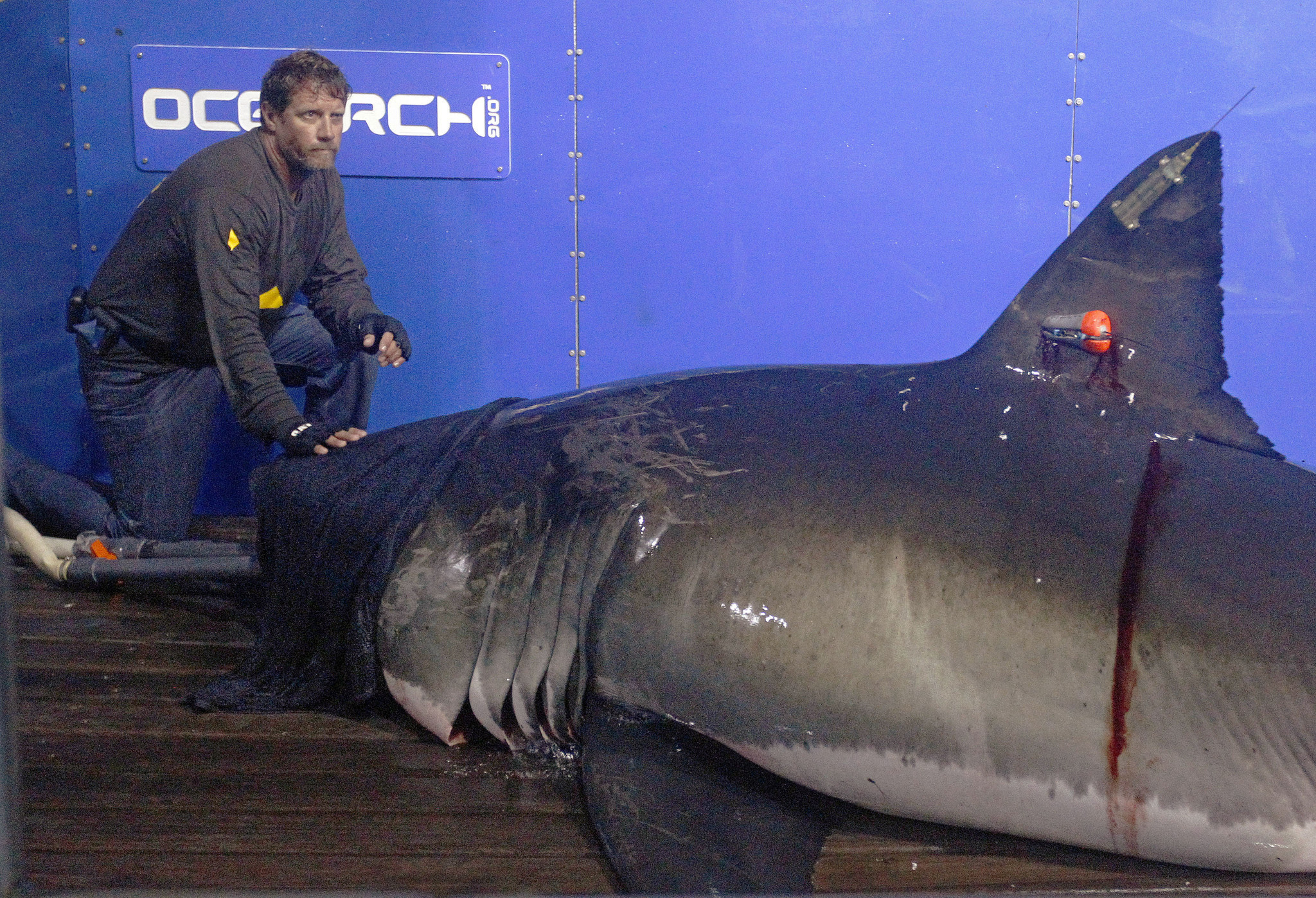 Great white shark Mary Lee becomes Twitter star while cruising East Coast - The Morning Call