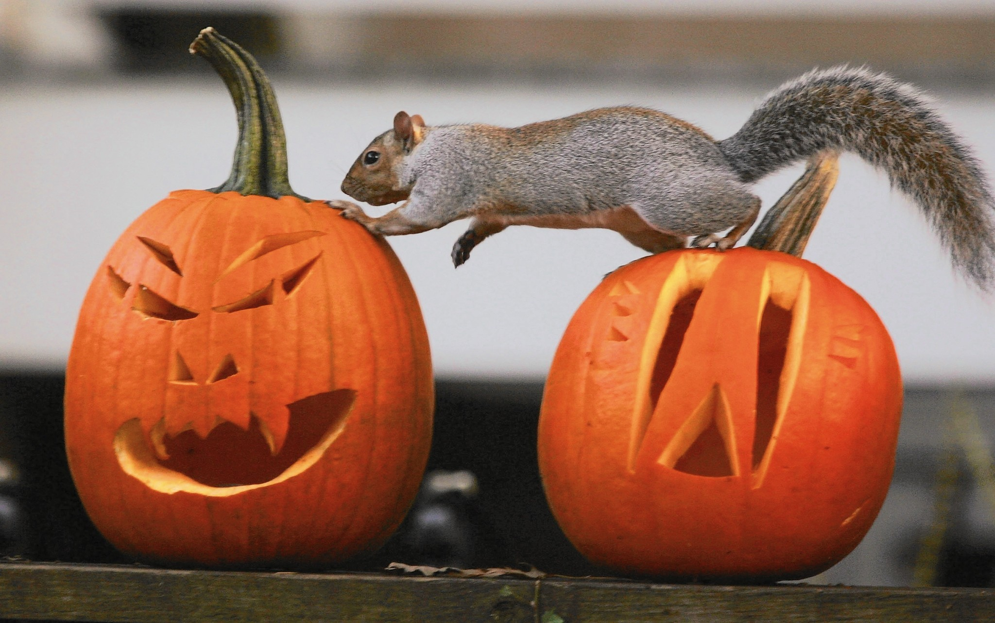 Pumpkins on porches an opportune snack for squirrels - Chicago Tribune