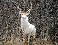 For rare white deer on an old Army depot in N.Y., the ...