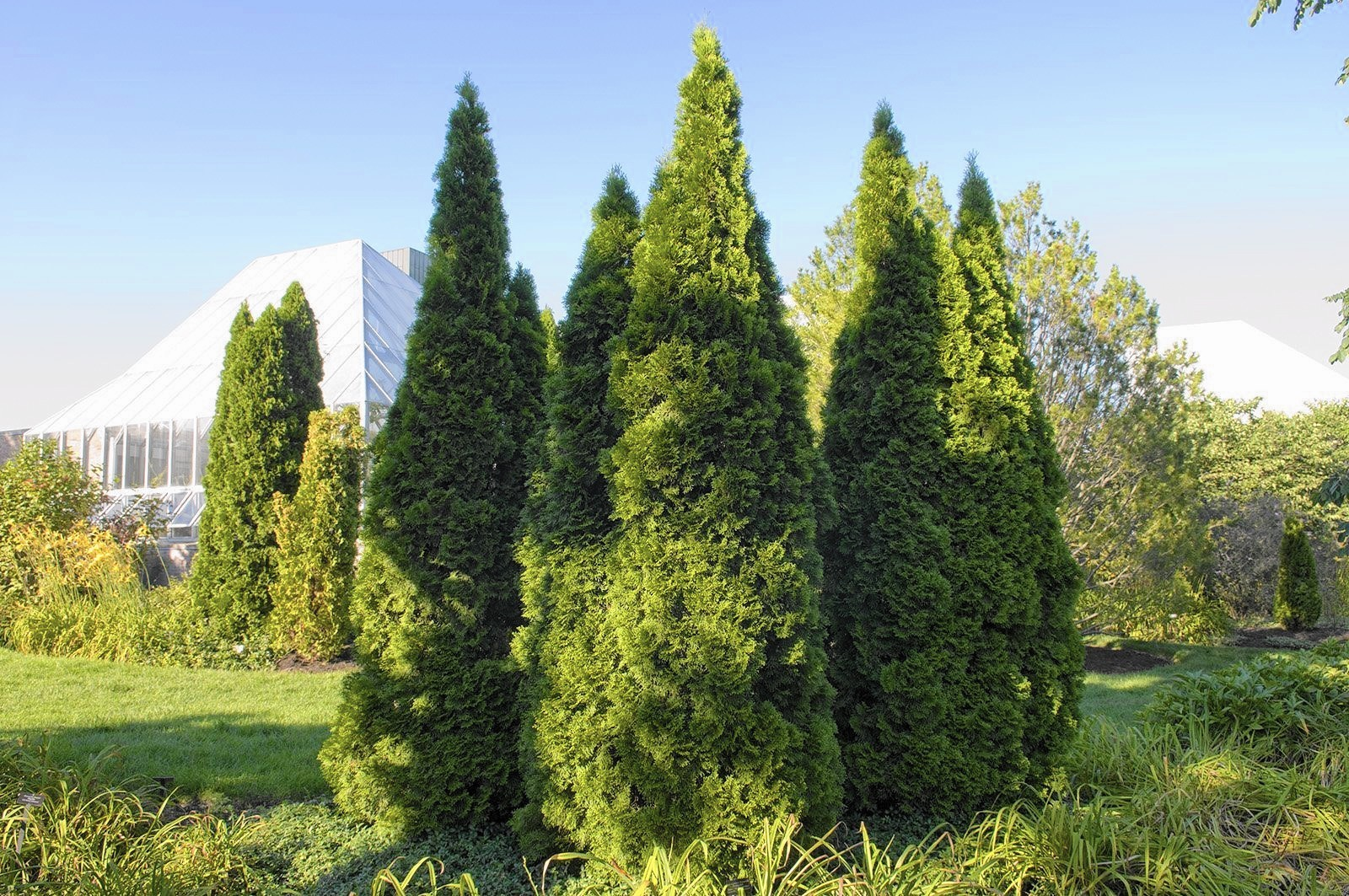 Demise of arborvitae can be linked to variety of factors