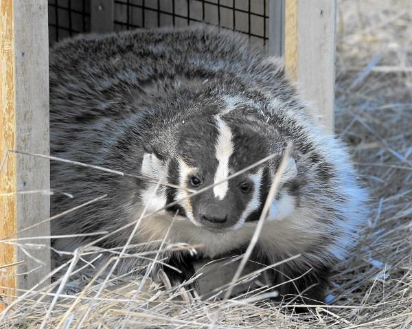 Biologists Tracking Badger In Forest Preserve