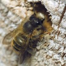 Garden & Mason Bees Important Pollinators