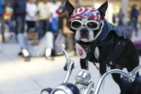 Chopper the Biker Dog loses therapy certification over ...