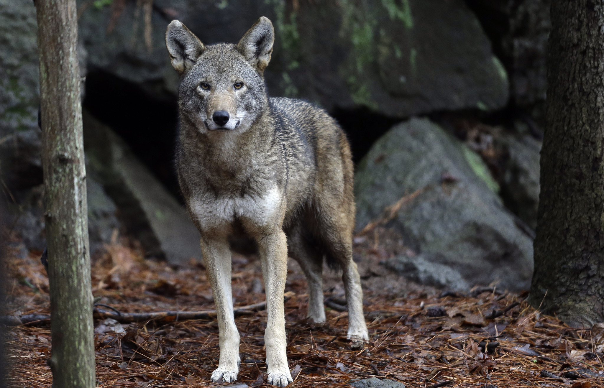 Decision imminent on fate of worlds only wild red wolves