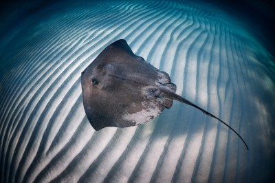 Stingray kills Singapore aquarium diver as barbed spine ...