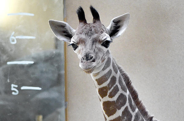 Meet The Baby Giraffe Born At The Maryland Zoo This Month