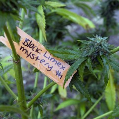 Wheelchair Weed Mitchell Gold Chairs Senate Medical Marijuana Plan Ready For A Floor Vote Sun