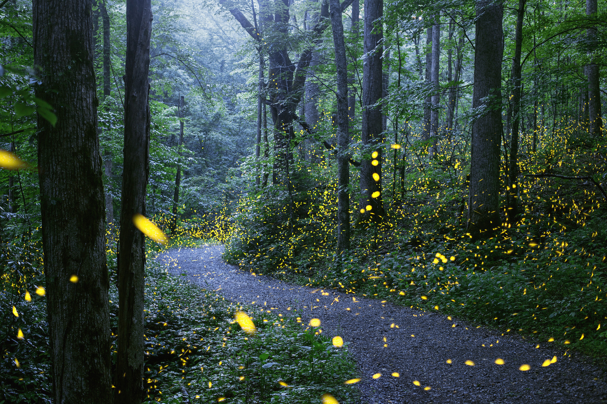 For 2 spectacular weeks mating fireflies light up Smoky