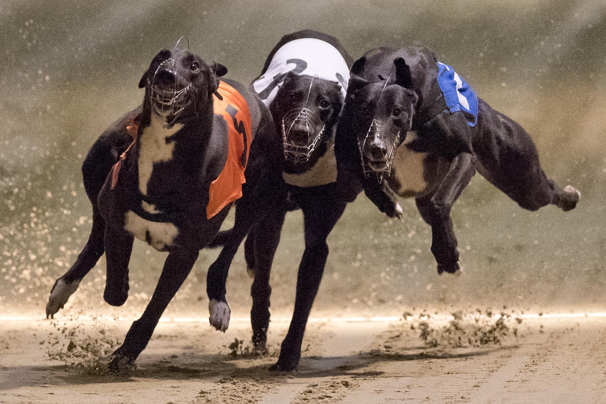 Dog racing has a drug problem as 12 Florida greyhounds