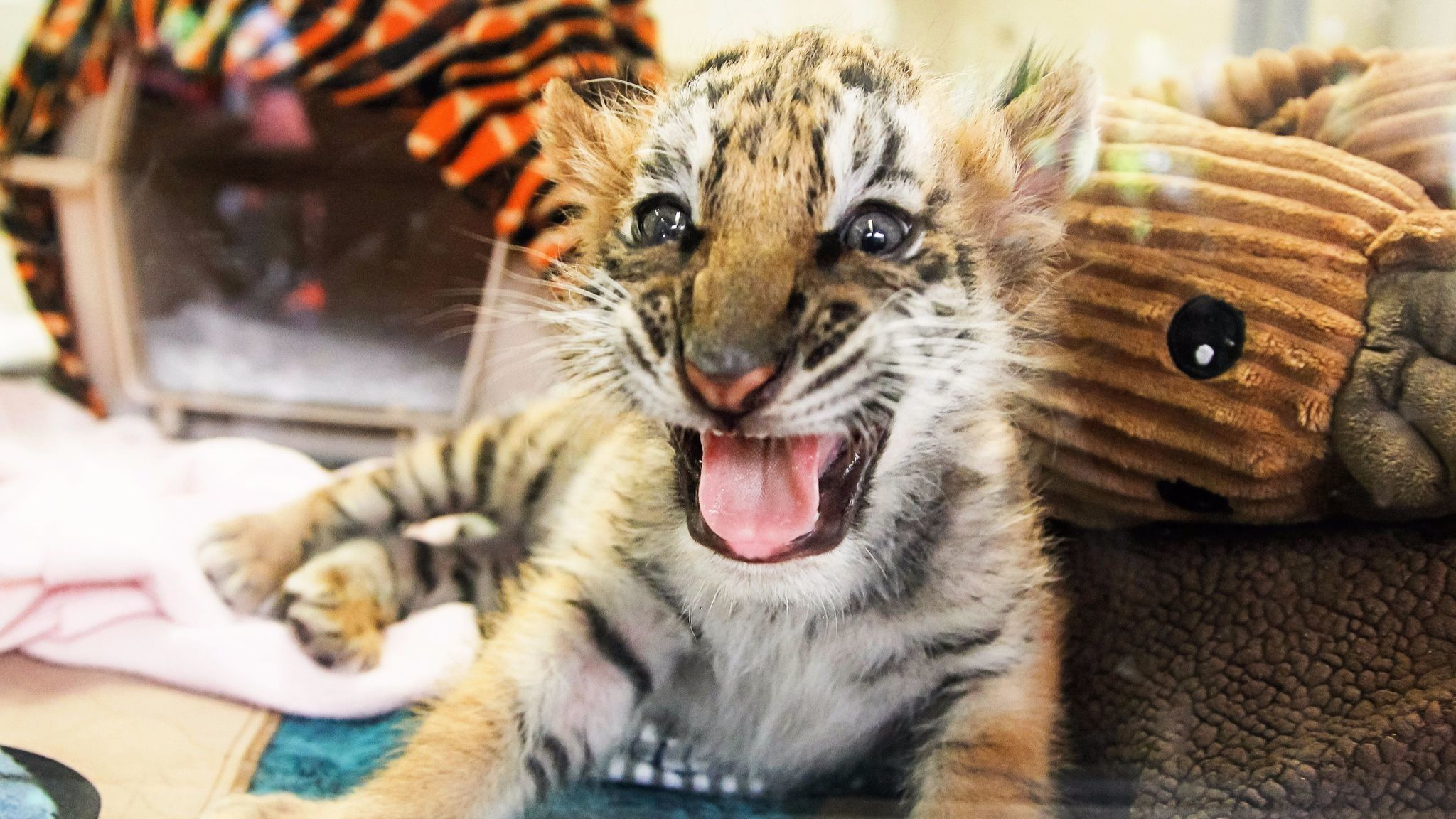 All together now Awwwwww An update on the confiscated tiger cub  The San Diego UnionTribune