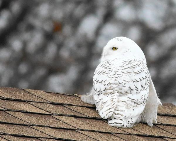 Snowy Owl Sightings Rise Great Lakes Shorelines '' Stuff Of