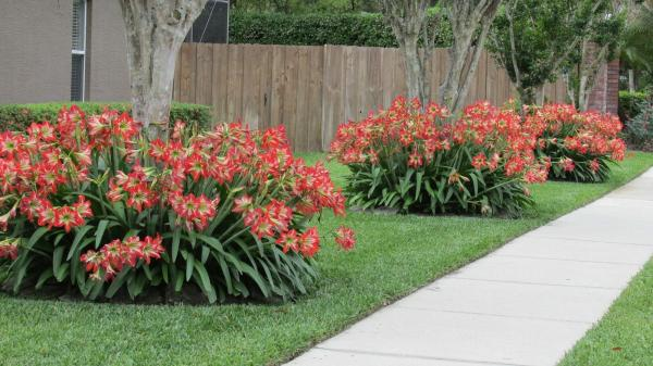 local amaryllis brimming with spring