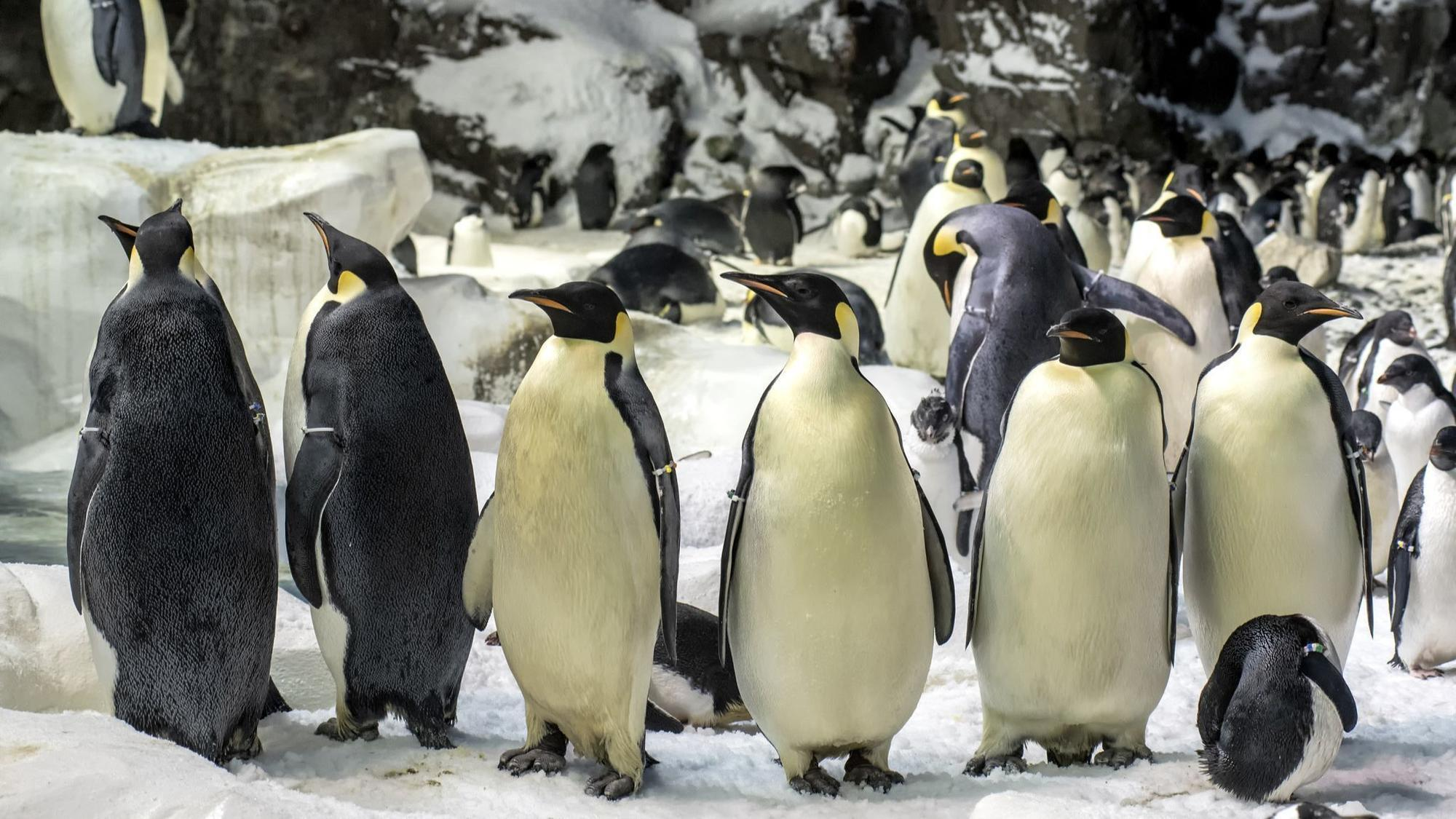 Waddle on over to celebrate World Penguin Day in San Diego  The San Diego UnionTribune