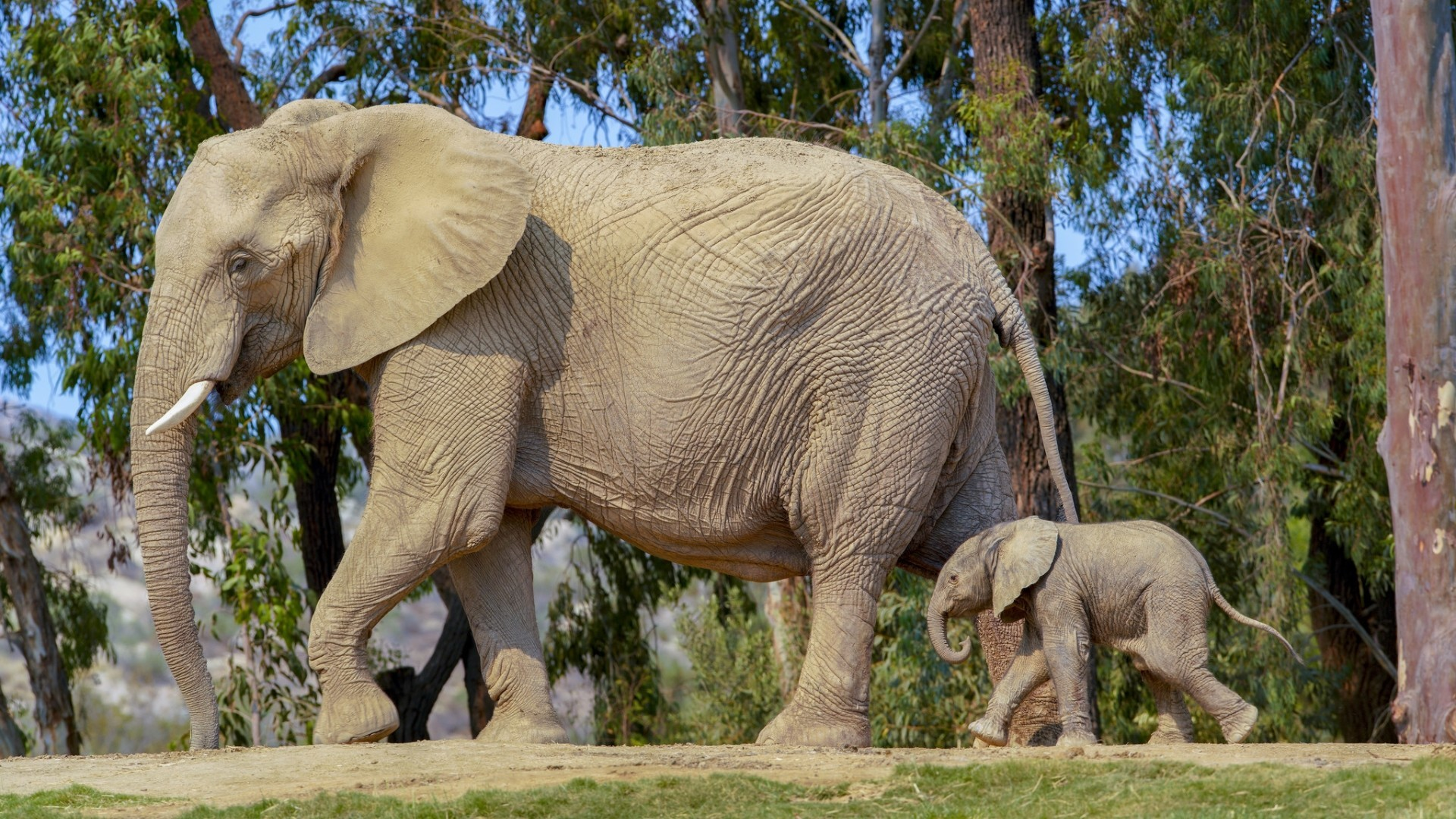 Baby Elephant Born on World Elephant Day at San Diego Zoo