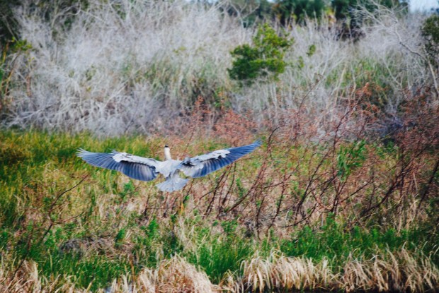 Blue Heron at the Savannas Recreation Area in Ft Pierce