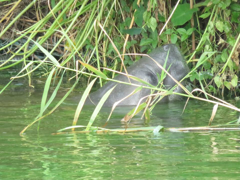 Manatee with green algae in his whiskers photo: Rebecca Fatzinger