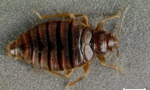 Tropical Bed Bugs are back