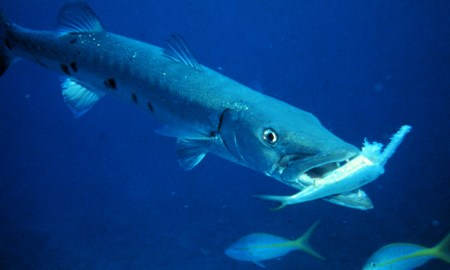 Fisherman face new size limits on Barracuda