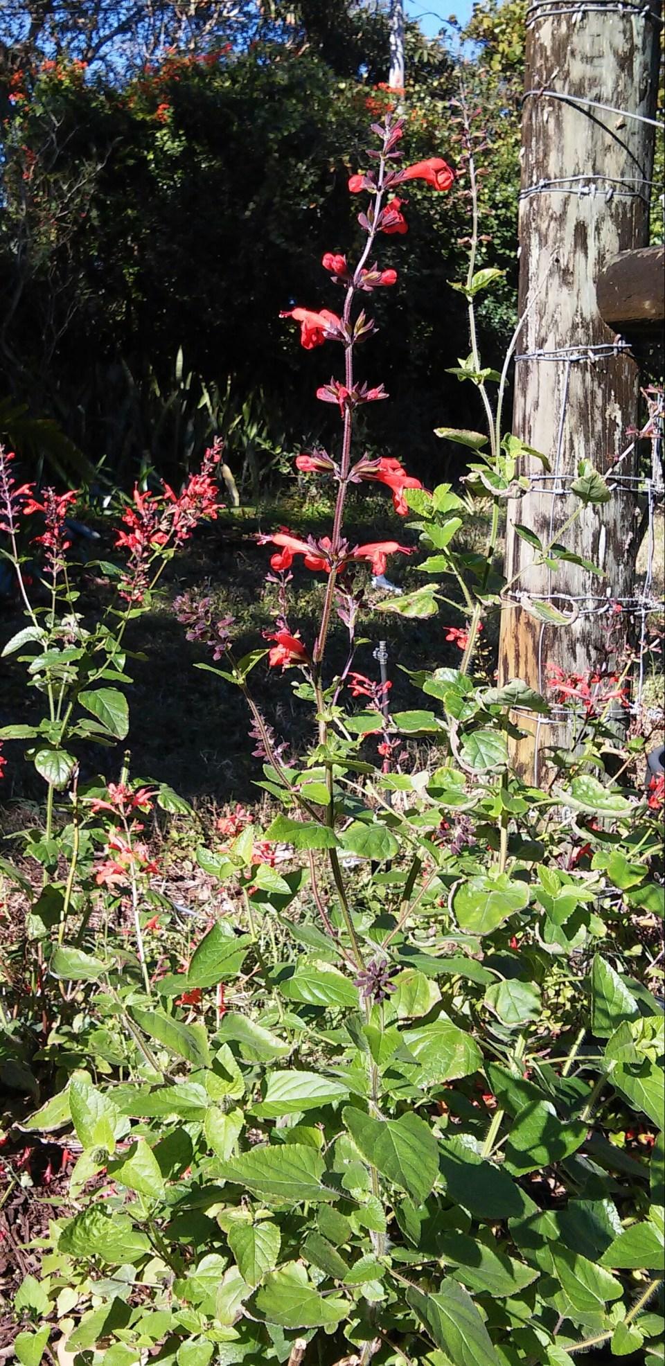 Tropical Red Salvia