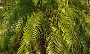 Accent Palms for Your GardenAccent Palms for Your Garden