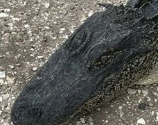 Two face criminal charges for killing alligator near Lake O