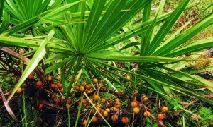 New Saw Palmetto Berry requirements 2018
