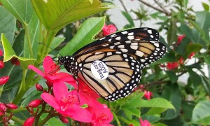 Group spearheads effort to save Monarch butterflies