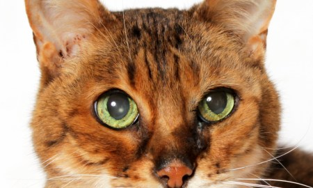 Adopt Clover! HSTC Rescue Pet