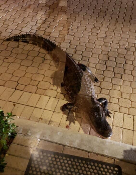 agitated gator