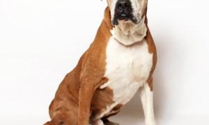 Adopt Bo! Pet of the week!