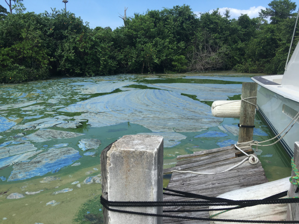 Central Marina blue green algae