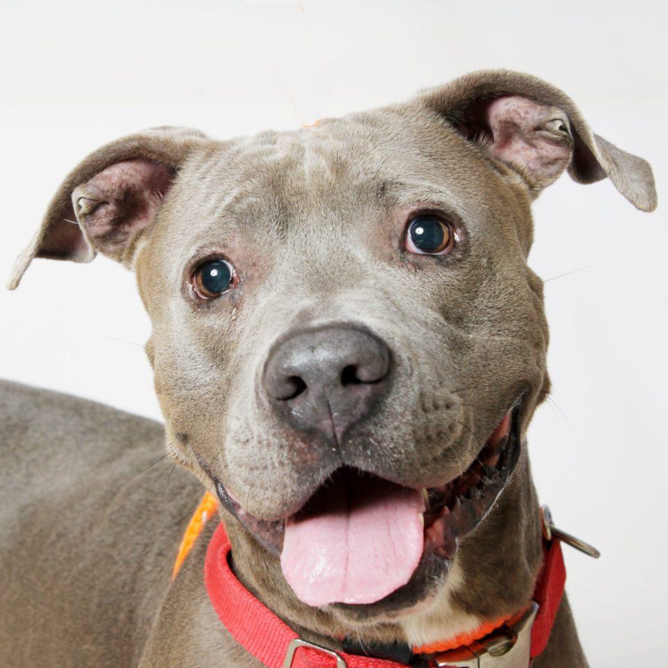 Adopt Grey Boy! Pet of the Week!
