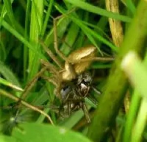 Nursery Web Spiders by Maria J Albo